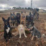 Dog training Bellarine